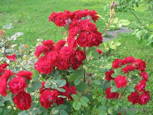 Уход за канадскими розами