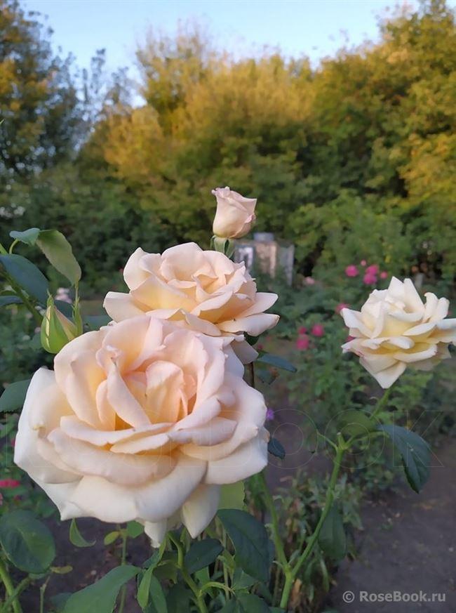Описание Роза Emmy (Эмми)