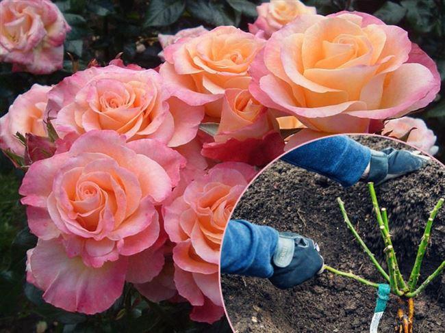 Как сажать розы: видео