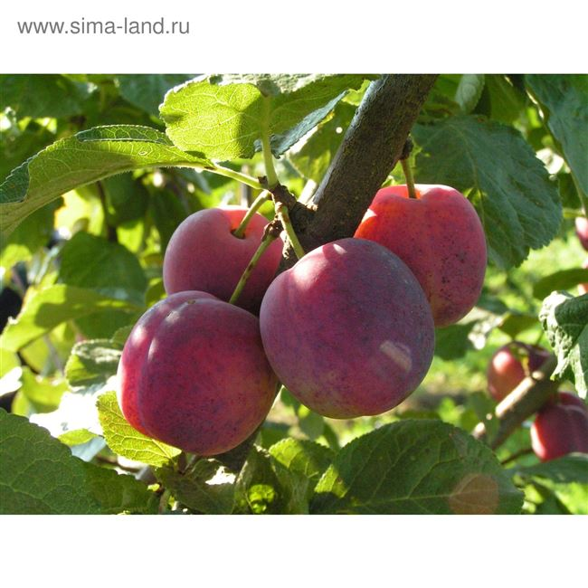 Отзывы садоводов о сорте Болховчанка