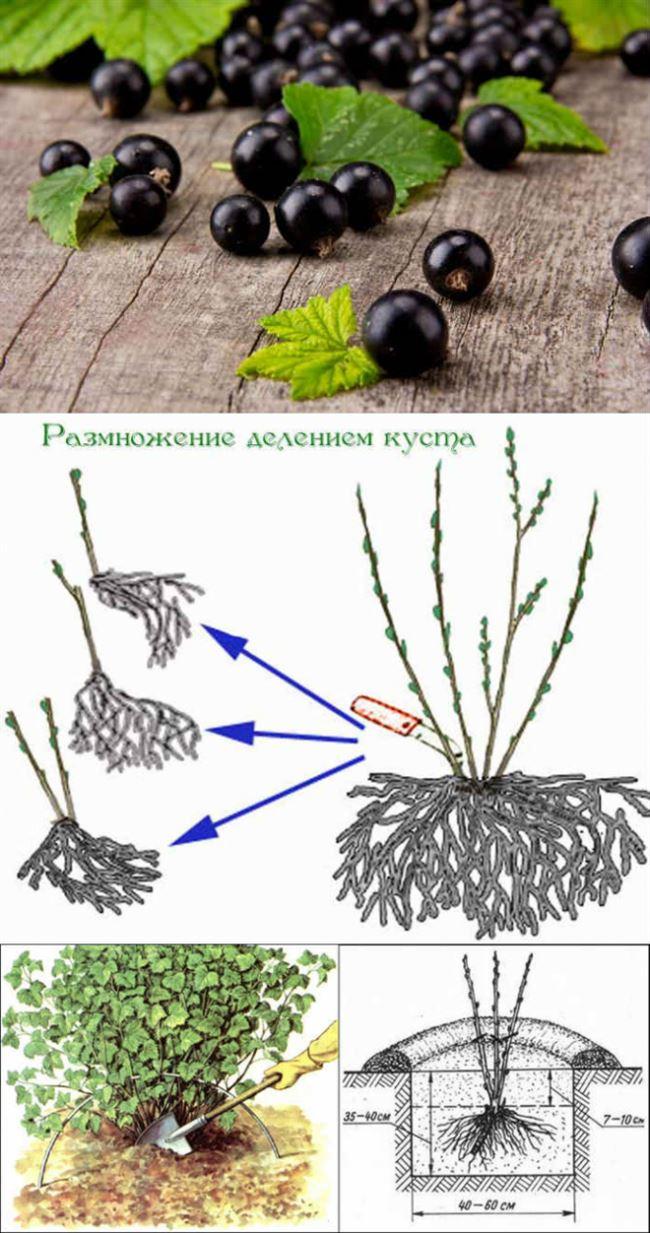 Как посадить смородину весной