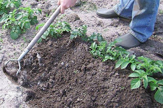 Прополка, рыхление почвы и мульчирование междурядий