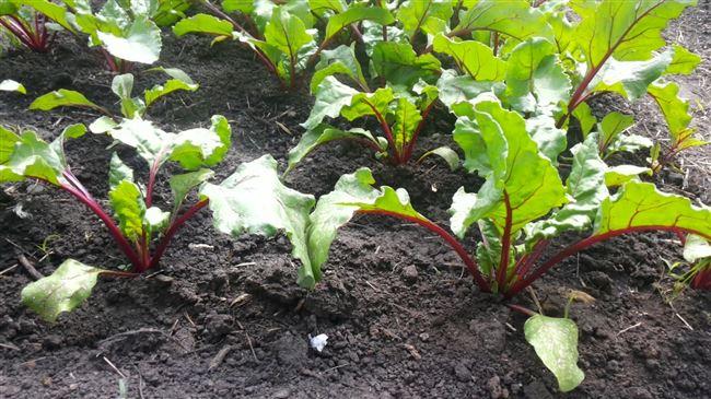 Рассадный способ выращивания