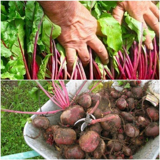 Хранение овощей начинается с посадки