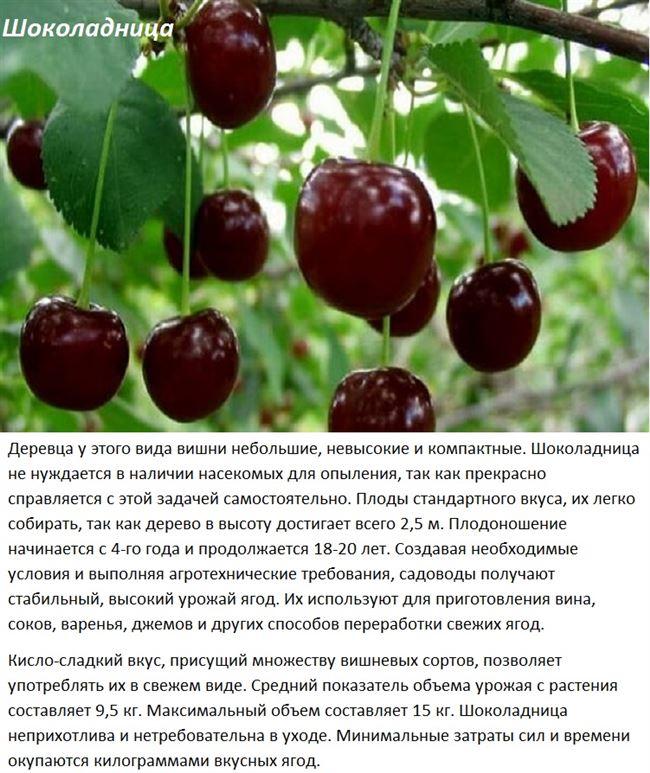 Болезни и вредители вишни Шоколадница