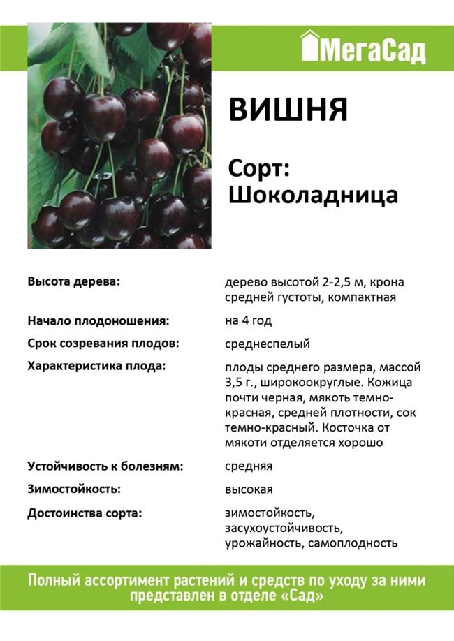 Характеристика вишни Шоколадницы