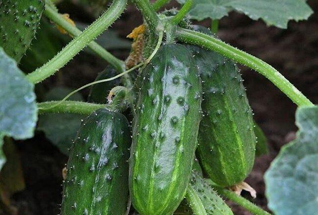 Прекрасные урожаи до первых заморозков — огурец Коротышка кустовой: описание сорта и особенности выращивания
