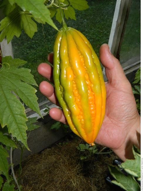 Нефрит - сорт растения Огурец
