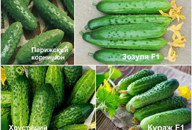 Сорта огурцов для засолки: лучшее для открытого грунта и парников