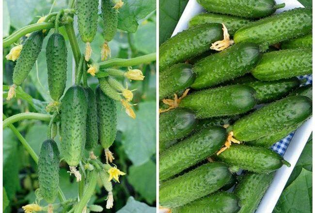 Огурец Пальчик – высокорослый сорт со свойствами гибрида
