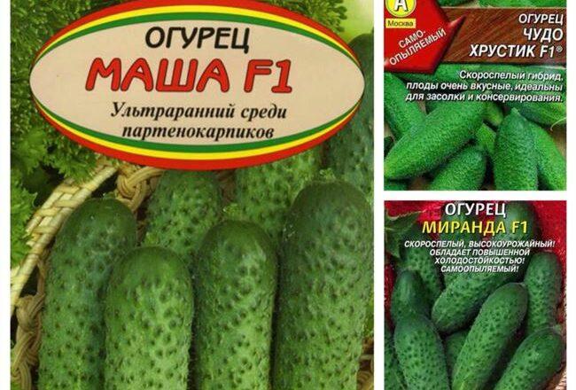 Высокоурожайный и очень выносливый гибрид — огурец Углич F1: отзывы и описание сорта