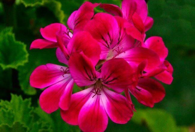 Надежда - сорт растения Пеларгония крупноцветковая