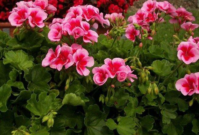 Пеларгония зональная (Pelargonium zonale) — описание