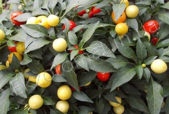 Урожай на окне круглый год — перец Бабье лето: подробное описание сорта