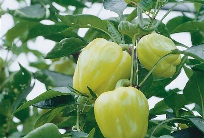Блонди - сорт растения Перец сладкий