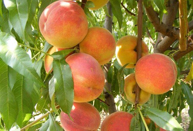 Бархатный Сезон - сорт растения Персик