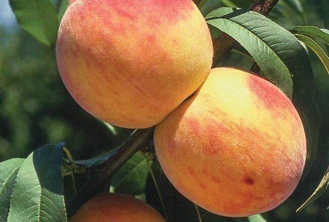 Сорт персика Золотой Юбилей – описание с фото