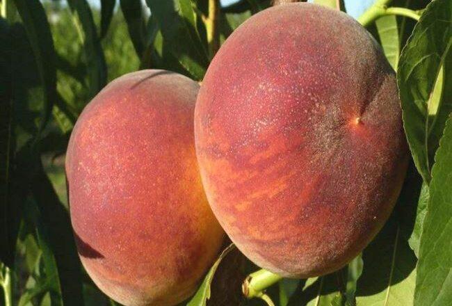 15 лучших сортов персика