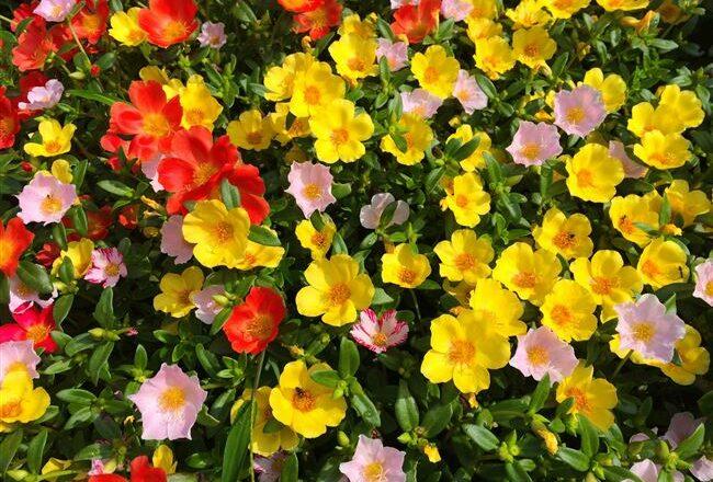 Портулак — красочный ковер из цветов на клумбе