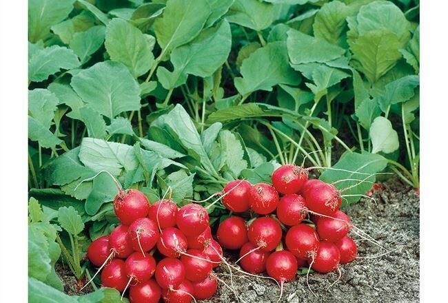 Семена редиса Филипар F1 (10000шт)