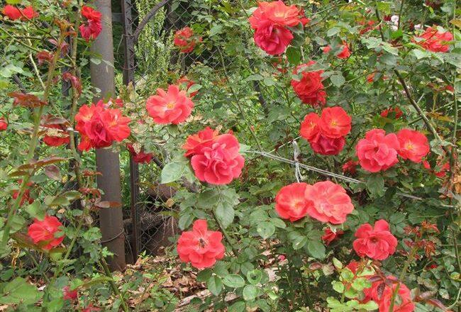 Роза 'Красный Маяк'