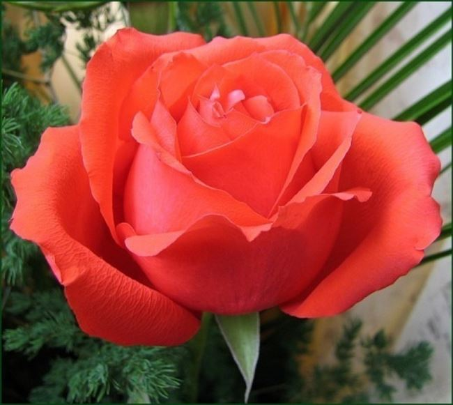 Сорт розы: Магма