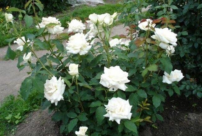 Чайно-гибридная роза Паскаль