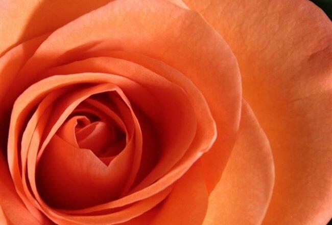 10 наиболее ароматных красивых роз в оранжево - персиковой гамме