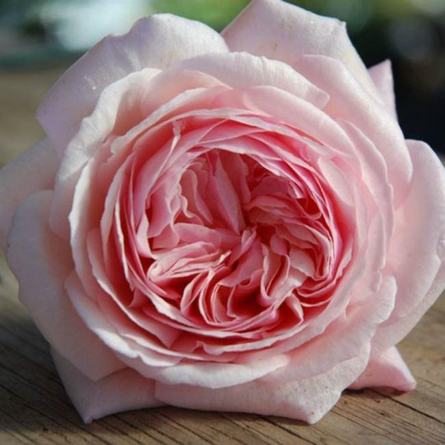 Розалинда - сорт растения Роза