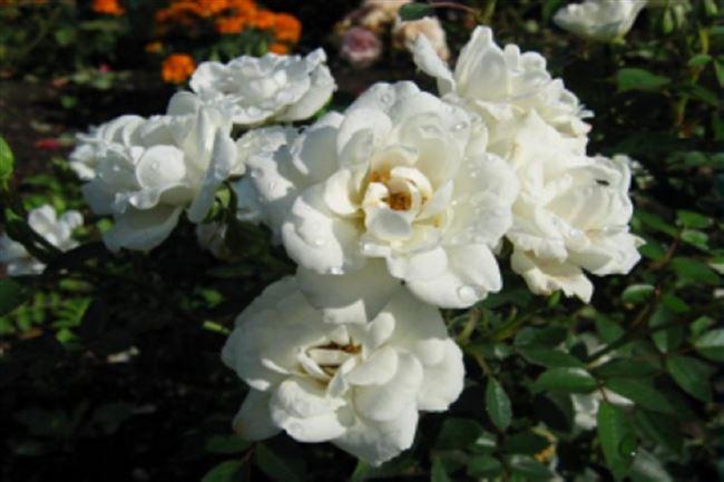 Роза Хельга – садовая красавица