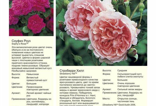 Каталог / Розы / Парковые розы ВКонтактеFacebookОдноклассникиМой МирTwitterLiveJournal