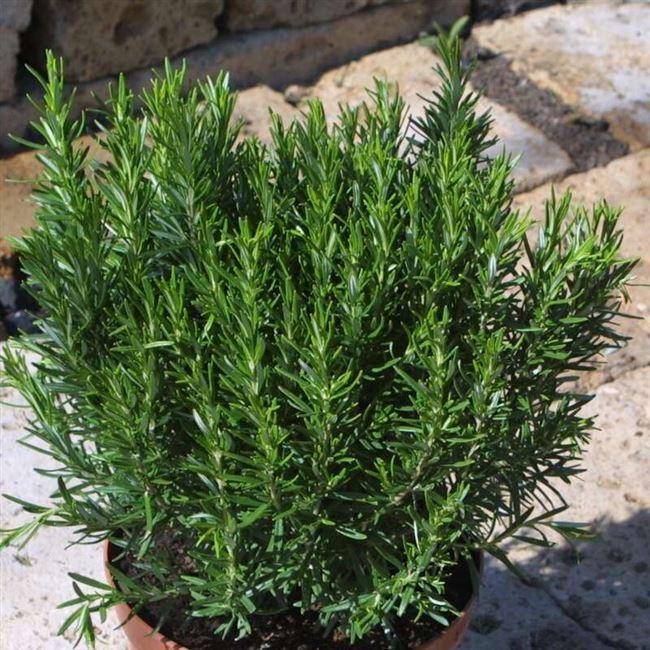 Разновидности и сорта розмарина, характеристика и полезные свойства растения, условия содержания