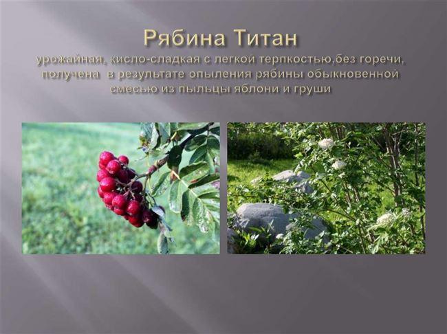 Рябина Титан: описание сорта, посадка и уход, фото, отзывы