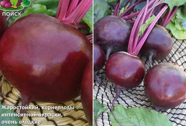 Хуторянка - сорт растения Свекла столовая
