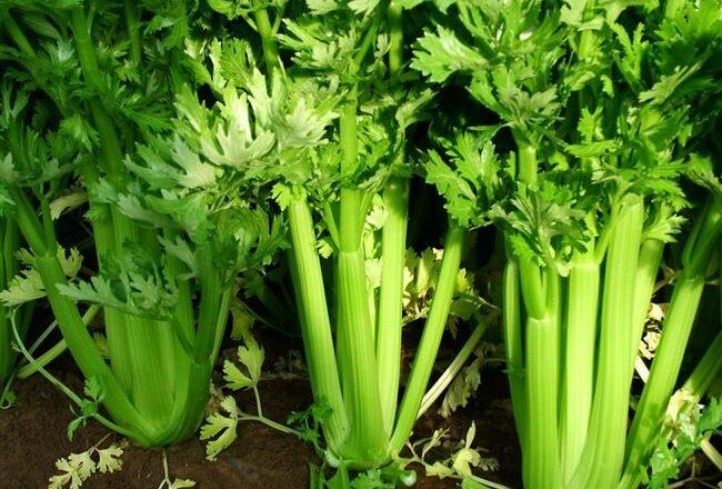 Листовой сельдерей – популярные сорта и особенности выращивания