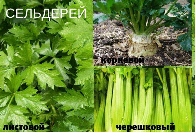 Сенеж - сорт растения Сельдерей черешковый и листовой