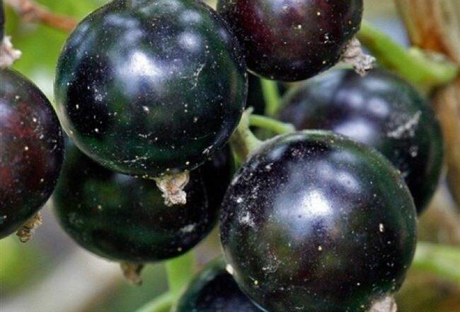 Смородина черная сорта
