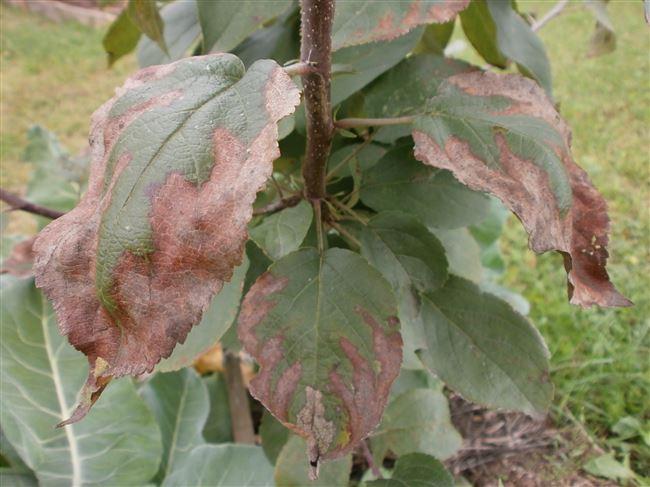 Болезни яблонь с фото и их лечение