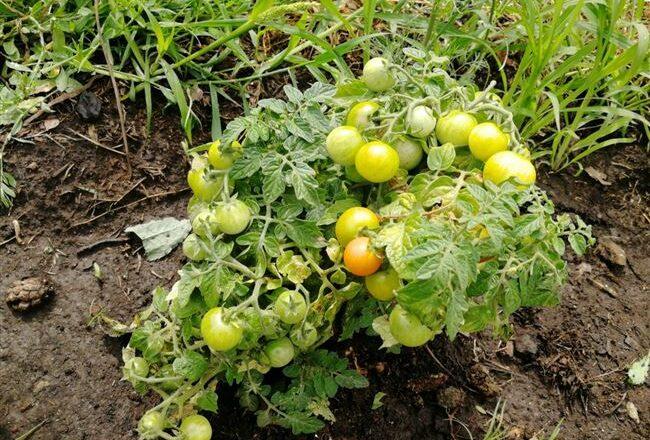 Мои маленькие помидорки: Клюква в сахаре, Золотце и Пиноккио