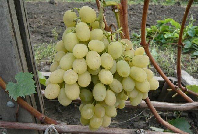 Виноград агадаи — описание сорта