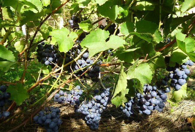 Сорт винограда Агат Донской: фото и описание, отзывы