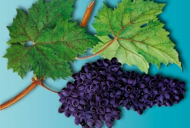 Виноград Асма