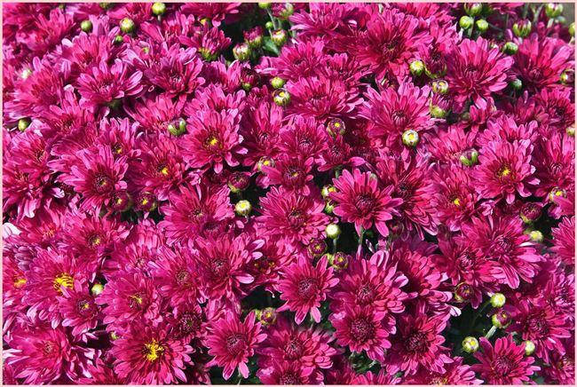 Ноктюрн - сорт растения Хризантема