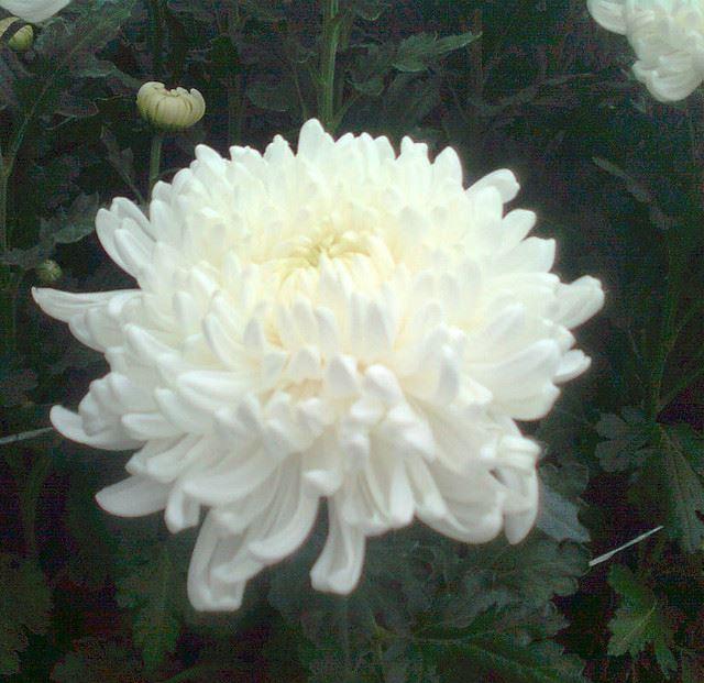 Хризантема Chrysanthemum Regina White