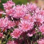 Корейские хризантемы: ботаническая характеристика