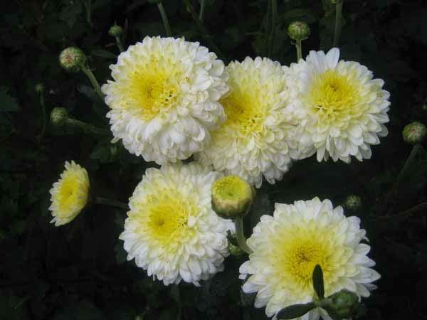 "Хризантема махровая бело-желтая ""Еллен Вайт"" (Ellen White)"