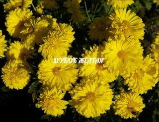 Янтарная - сорт растения Хризантема увенчанная