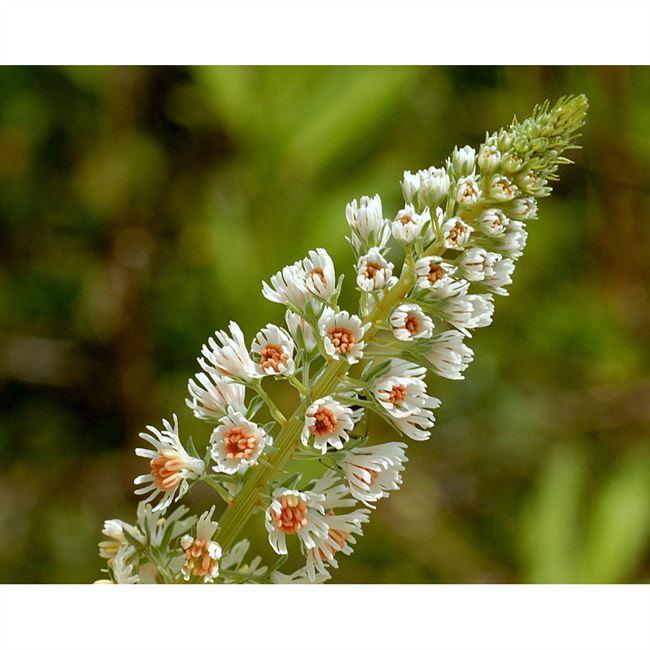 Резеда: описание растения с фото, особенности выращивания, полезные свойства и применение