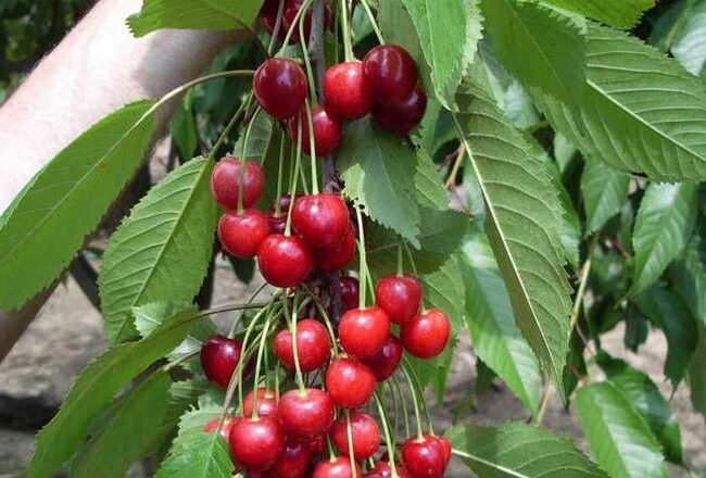 Вишня Краса Татарии: описание сорта, правила выращивания