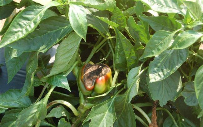 Обзор болезней и вредителей перцев